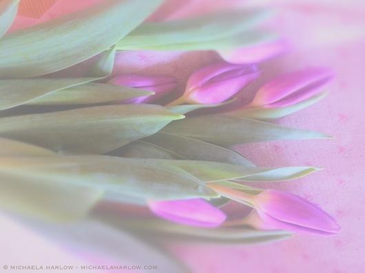 pale_violet_tulips_copyright_2014_michaela_medina_harlow_thegardenerseden.com