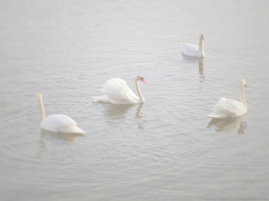 winter_swans_copyright_michaela_medina_harlow_thegardenerseden.com