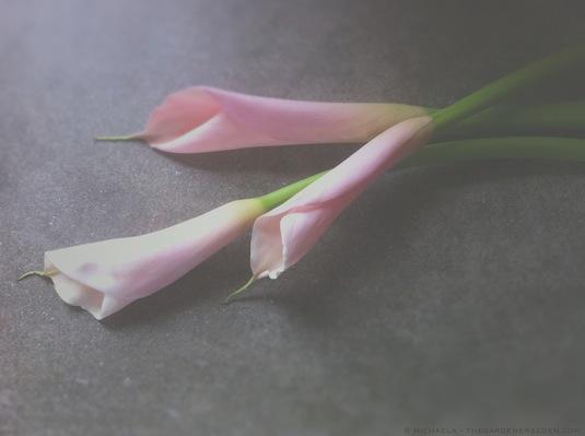 Calla Lilies, copyright 2014, michaelamedinaharlow, thegardenerseden.com