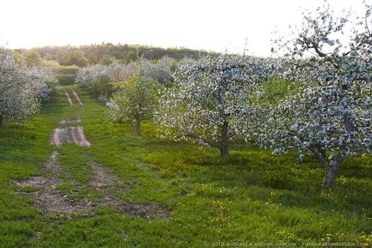 Heirloom_Apple_Blossoms_in_the_Orchard_at_Scott_Farm_smallJPEG_michaela_medina_harlow_thegardenerseden
