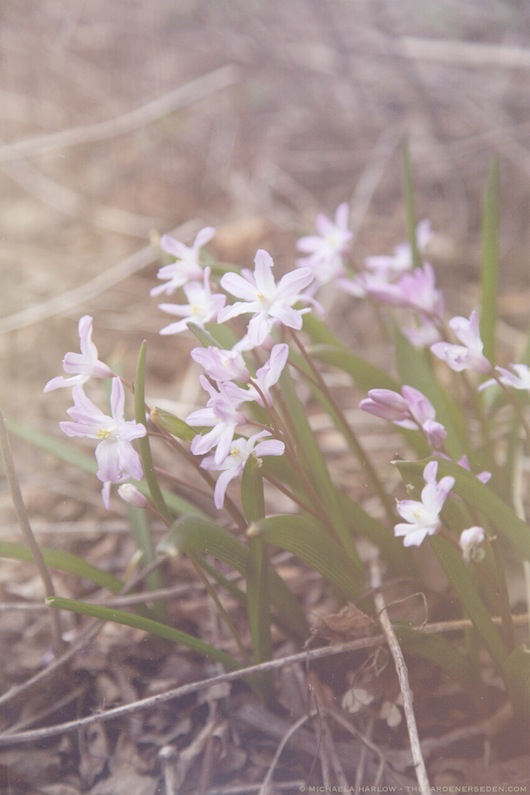 Chionodoxa luciliae 'Violet Beauty' - michaela medina harlow - thegardenerseden.comJPG