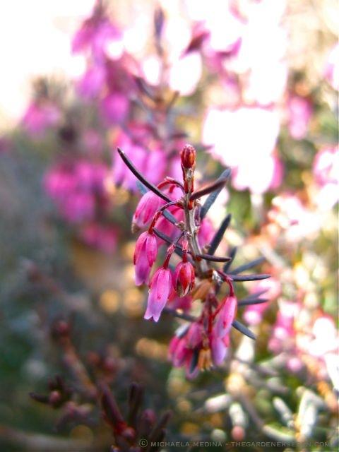 Erica-carnea-Spring-Heath-ⓒ-michaela-medina-thegardenerseden