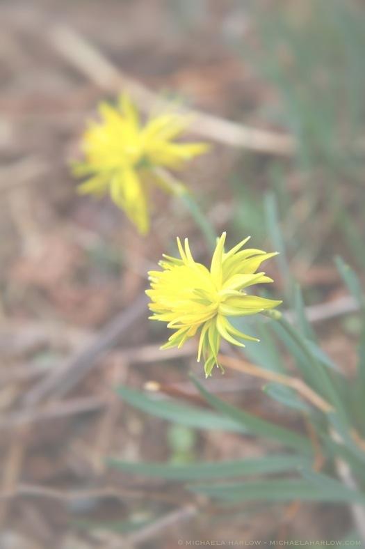 Narcissus 'Rip Van Winkle' - Michaela Harlow - thegardenerseden.com