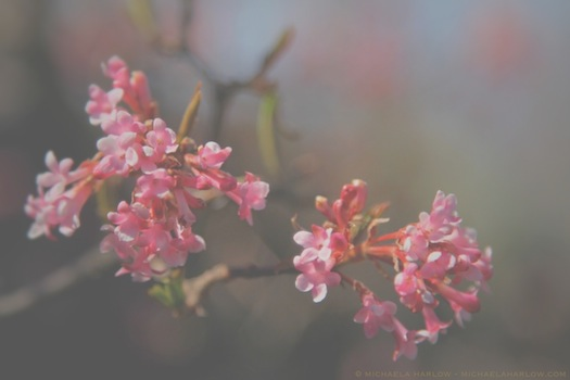 Viburnum_x_bodnantense_'Dawn'_copyright_2014_michaela_medina_harlow_thegardenerdeden.com_all_rights_reserved