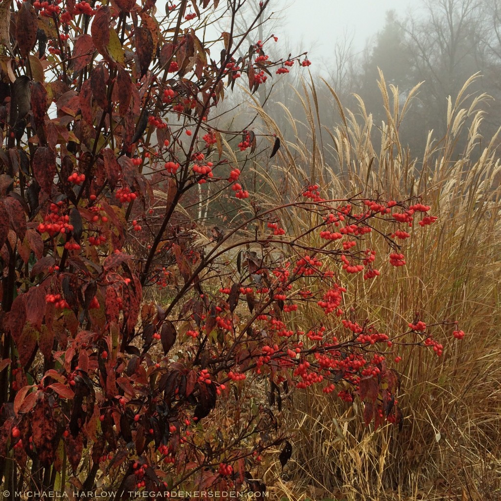 Viburnum setigerum in the foggy garden with Miscanthus sinensis
