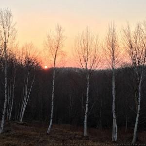 Betula papyrifera at sunrise - Michaela Harlow