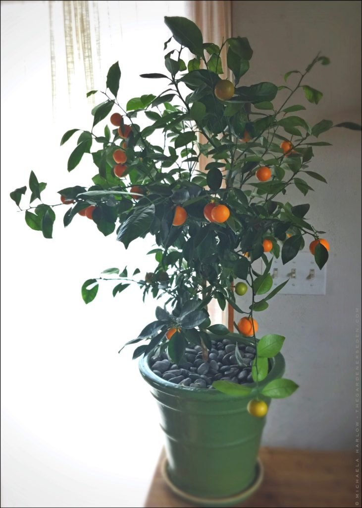 Calamondin Orange Tree In The Kitchen