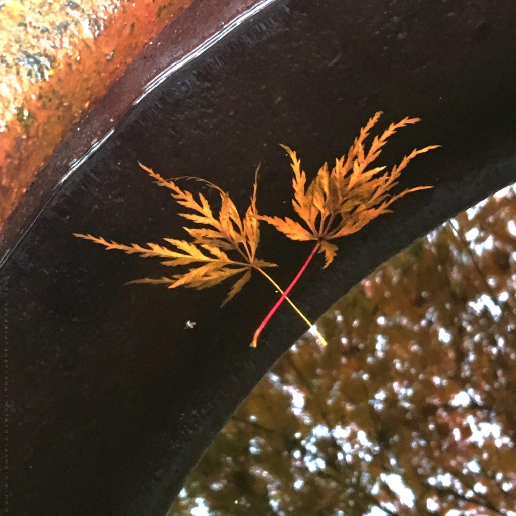 Acer Palmatum X Dissectum Seiryu The Gardeners Eden