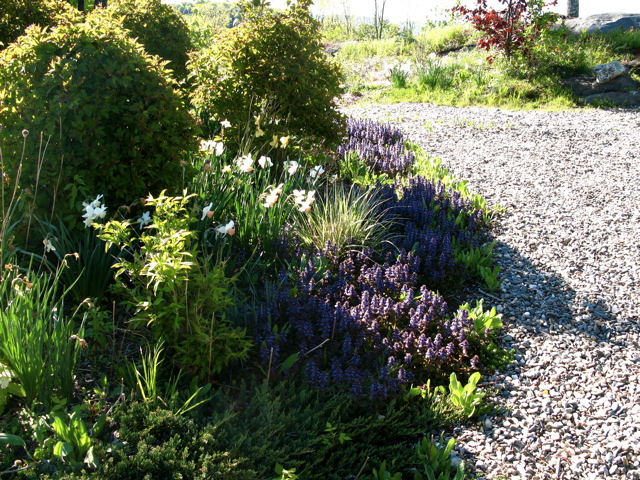 Front-walkway-viburnum trilobum -ajuga-juniper ⓒ Michaela at TGE
