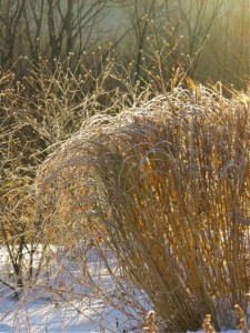 Miscanthus and Viburnum in Winter ⓒ Michaela at TGE