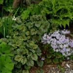 phlox-divericata-heuchera-seedling-of-dales-strain-leucojum-aestivum-sanguinaria