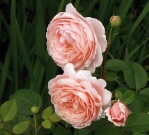 david-austin-ambridge-rose