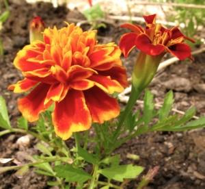 marigold-close-up