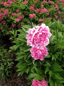 peony-and-spirea-anthony-waterer-at-bridge-of-flowers