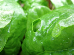 slug-damage-on-spinach