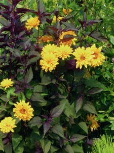 eupatorium rugosum and heliopsis helianthoides