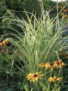 Striped eulalia grass (Miscanthus sinensis 'variegatugatus')