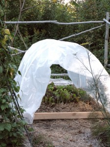 Hoop house with chard