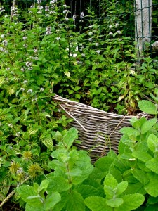mint in the kitchen garden