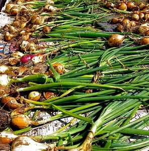 onion harvest straight from the potager to the newspaper on terrace