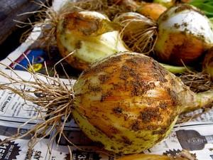spanish sweet onions