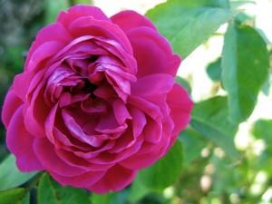 Rosa 'De Rescht'