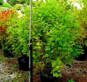 Viburnum trilobum 'Bailey Compact'(American Cranberry Bush Viburnum)