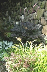 hakonechloa macra 'aureola' with cimicifuga r. 'hillside black beauty'