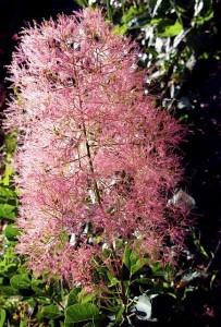 Cotinus coggyria, Smokebush