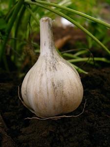 Doc's German Garlic