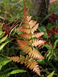 Dryopteris erythrosora autumn fern  'Brilliance'