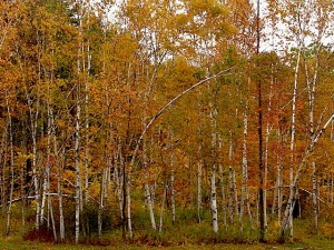 Holzapfel long birches