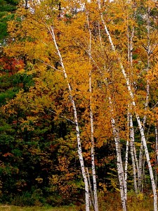 Holzapfel studio forest birch trees