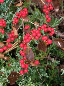 Ilex verticillata 'Red sprite' close-up