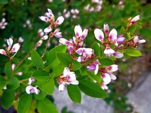 Lespedeza thunbergii bicolor bush clover