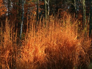 Miscanthus purpurascens in the last days of October