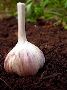 'Spanish Roja' Garlic