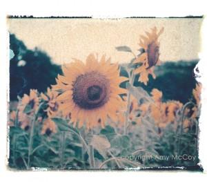 SunflowerOrvieto1ALM