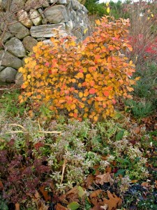 Fothergilla gardenii by the wall in November