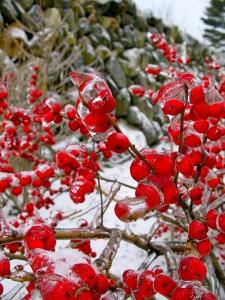 Ilex verticillata 'Red sprite'