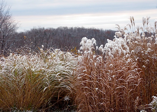 ornamental grass, first snow