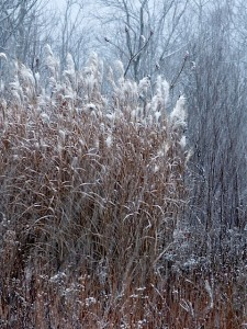 miscanthus sinensis in snow storm