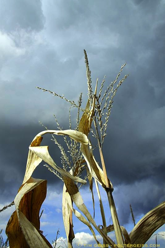 Corn Tassles 2010.10.20.12.17.09.corn maze.harlow.5166