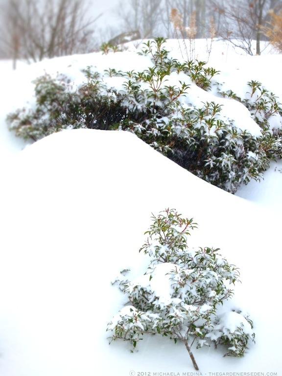 Kalmia latifolia with Snow ⓒ 2012 michaela medina - thegardenerseden.com