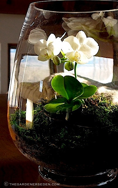 Orchid-Terrarium-white-moth-orchid-ⓒ-Michaela-at-TGE