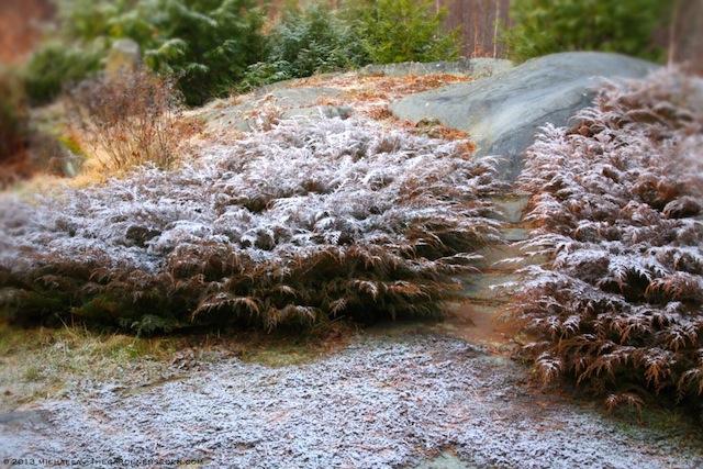Microbiota decussata (Siberian cypress) with a Dusting of Snow ⓒ 2013 michaela medina:thegardenerseden.com