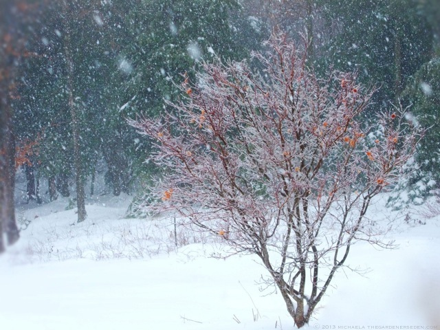 japanese maple tree in snow ⓒ 2013 michaela - thegardenerseden