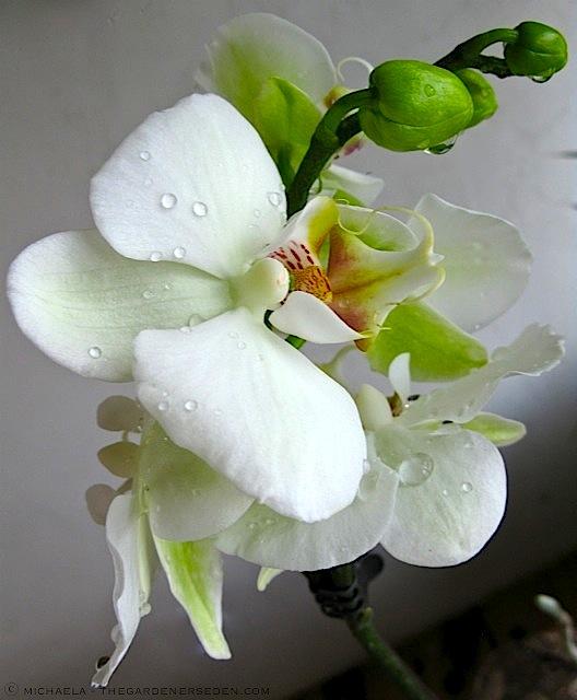 Purest-White-Moth-Orchid ⓒ-michaela-thegardenerseden.com_1
