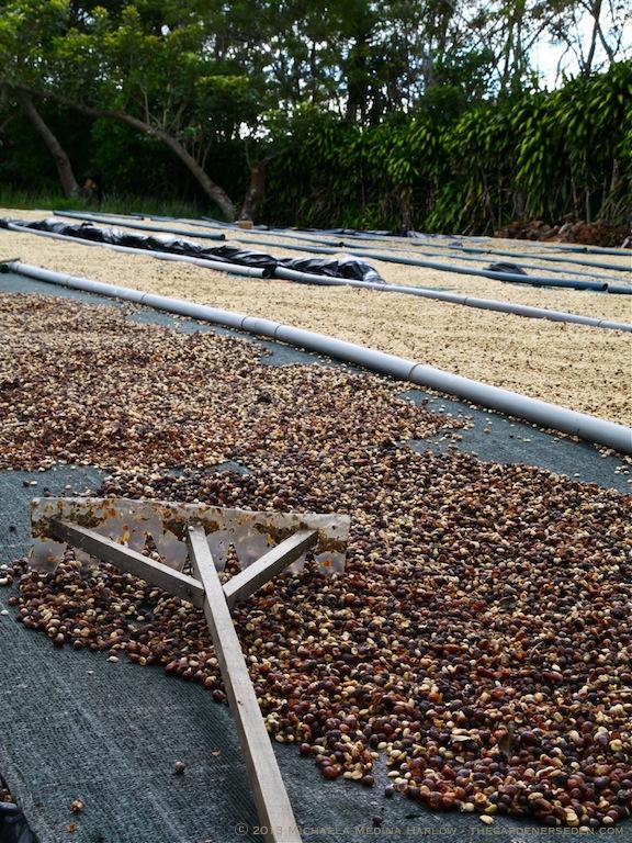 Drying Coffee Beans - Finca Rosa Blanca Plantation - Costa Rica ⓒ 2013 Michaela Medina Harlow - thegardenerseden