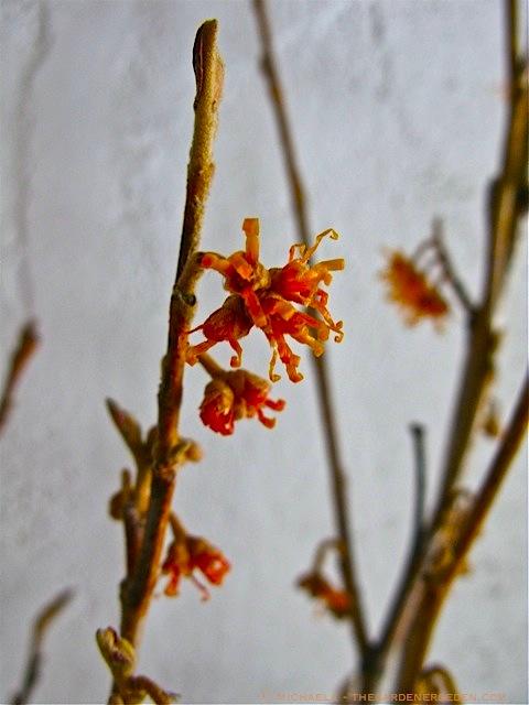 Hamamelis-vernalis-Forced-Branches-ⓒ-michaela-thegardenerseden